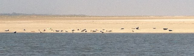 Seehunde auf der Sandbank