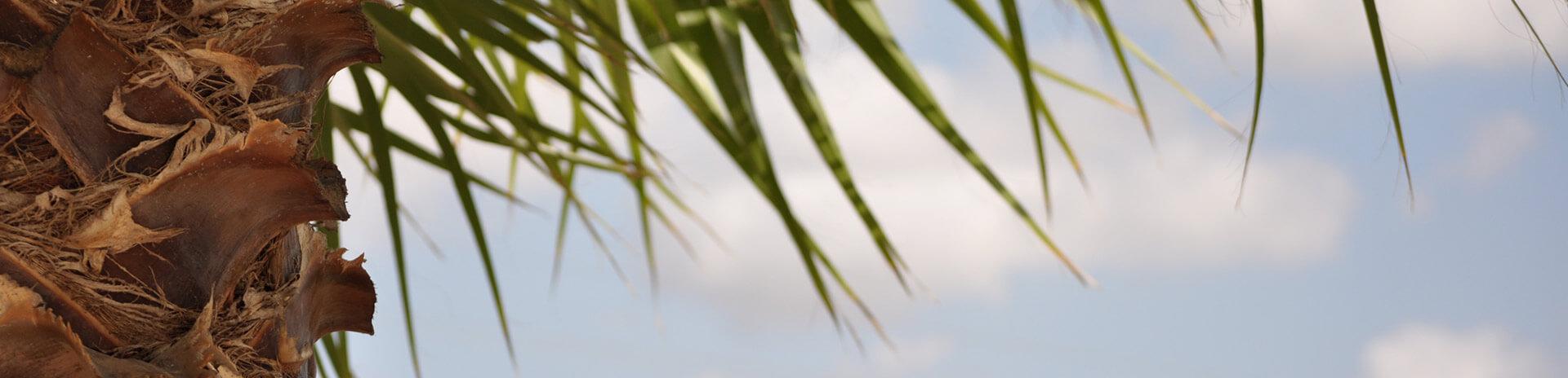 spanische Palmen