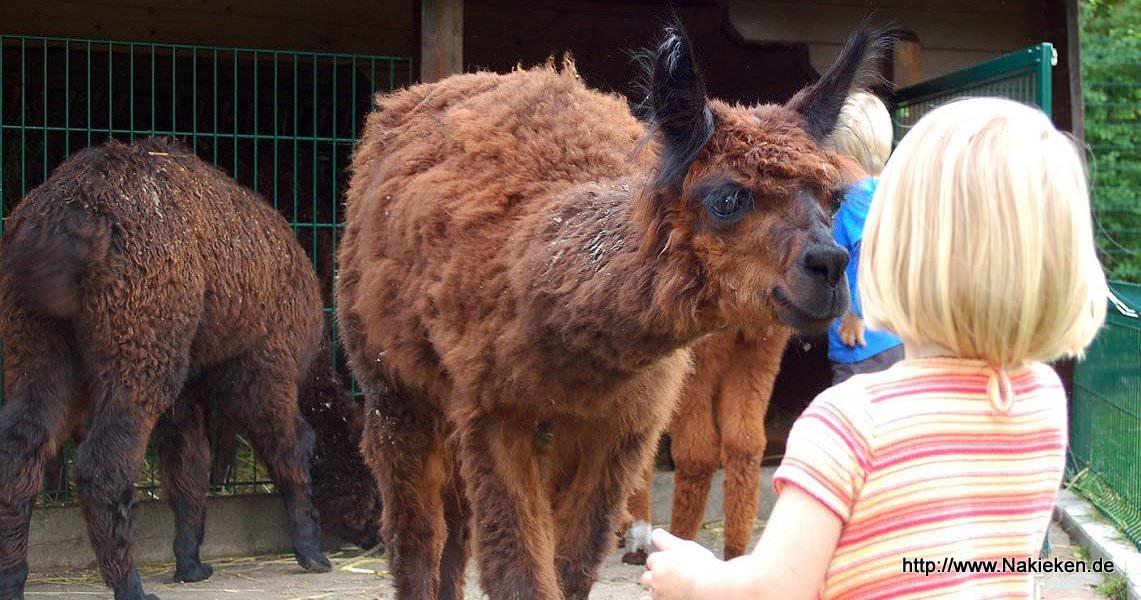 Lama im Zoo Jaderberg