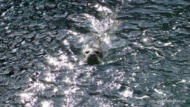 Seehund im Aquarium