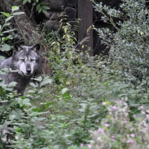 Wolf (Kleiner Familienurlaub im Zoo Hannover mit Hotel und etwas Nightlife)