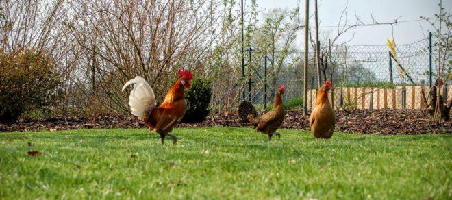 Hühner im Freigehege
