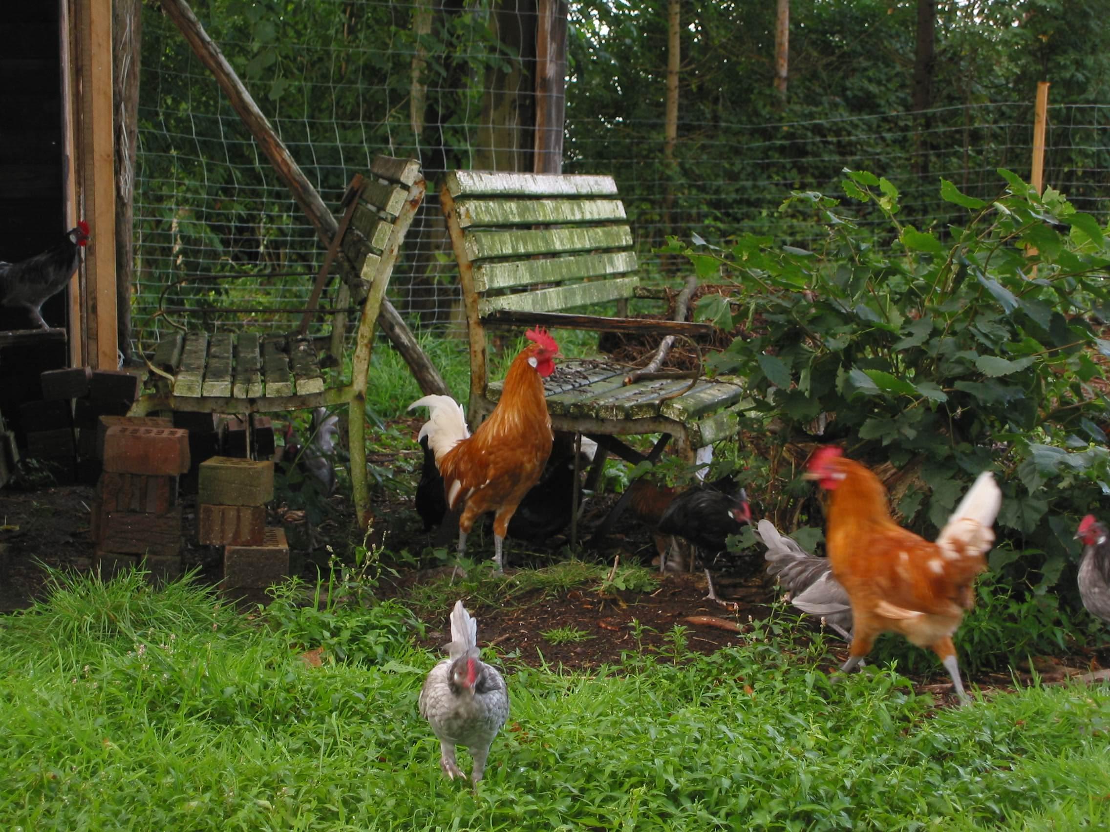 Hühner im Grünen