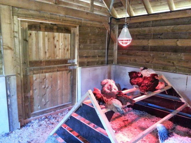Wärmelampe für Hühner