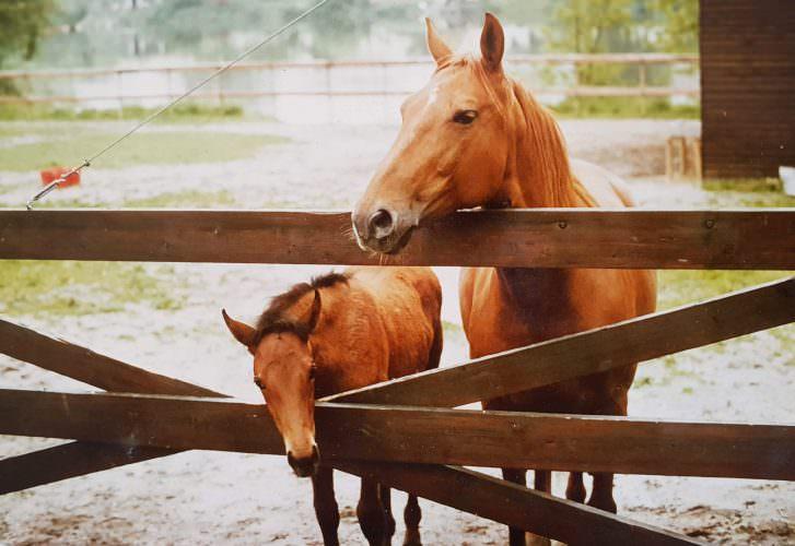 Pferde am Gatter