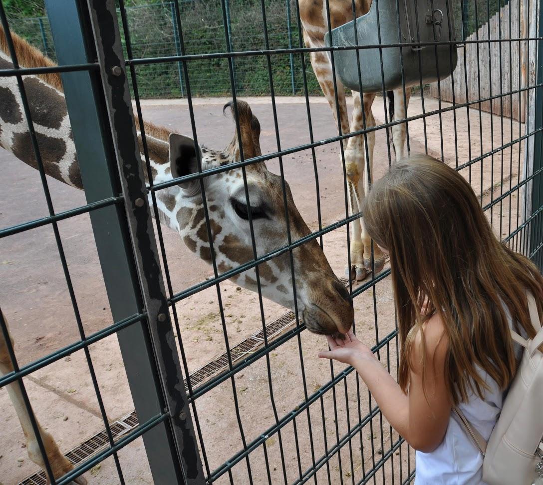 Füttern im Giraffengehege