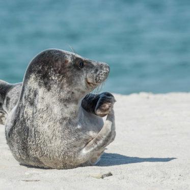 Junge Robbe am Strand