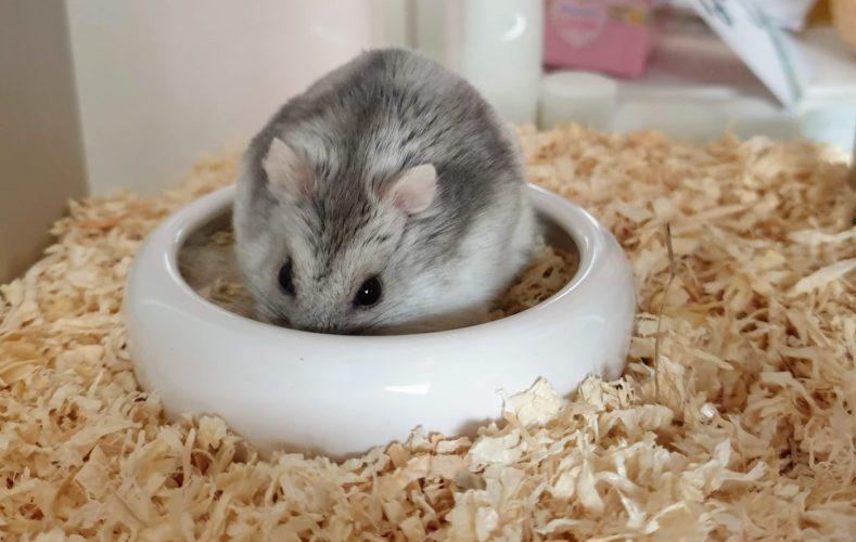 Hamster sitzt wieder gut im Futter