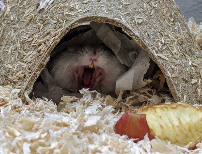 Hamster zeigt Zähne