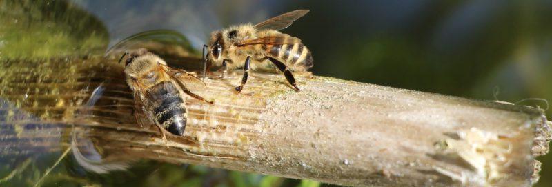 Wenn Bienen trinken