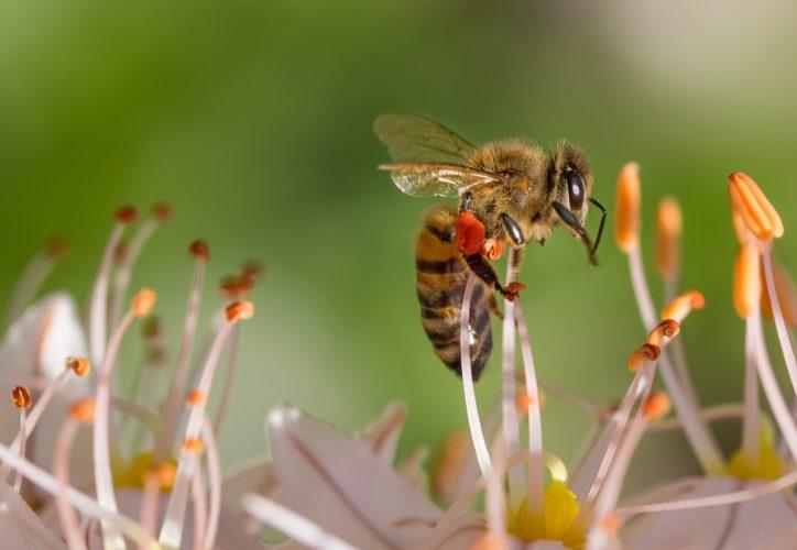 Biene in der Nahaufnahme